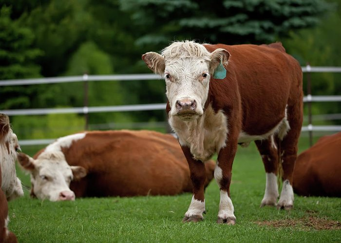 Grass Greeting Card featuring the photograph Hereford Cows In Green Pasture by Emholk