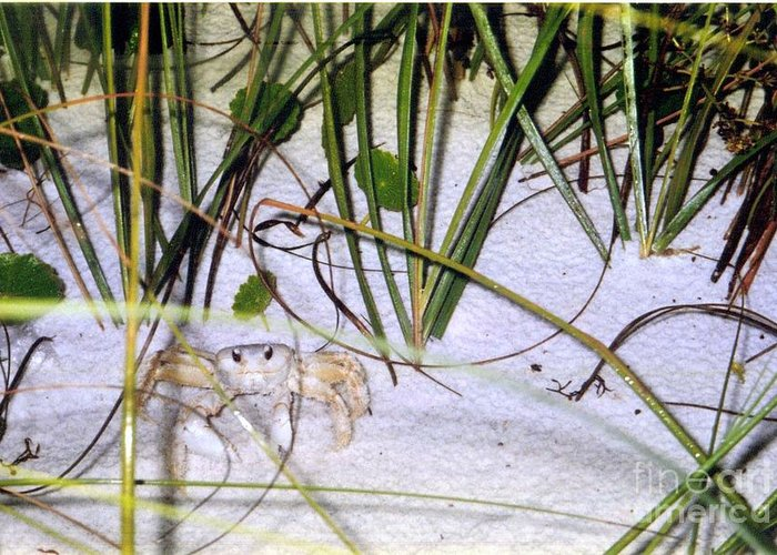 Crab Greeting Card featuring the photograph Heres Lookin At You by Marilyn Detwiler