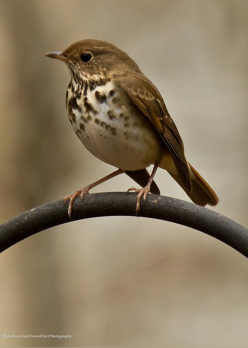 Hermit Thrush Greeting Card featuring the photograph Hermit Thrush by Robert L Jackson