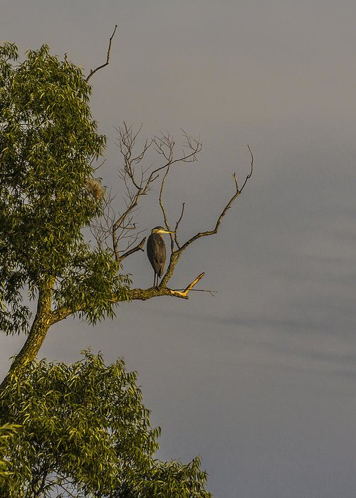 Heron Greeting Card featuring the photograph Heron Greets The Day by Will Bailey