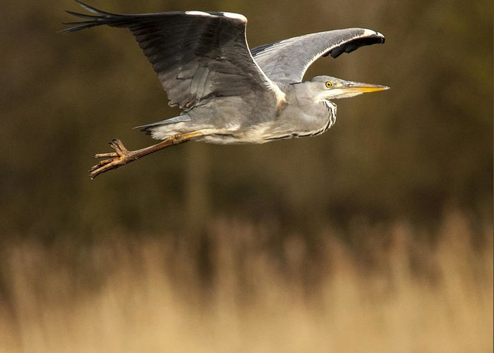 Heron Greeting Card featuring the photograph Heron In Flight by Simon West
