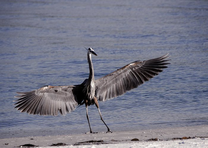 Nature Greeting Card featuring the photograph Heron Landing by Ralph Brunner