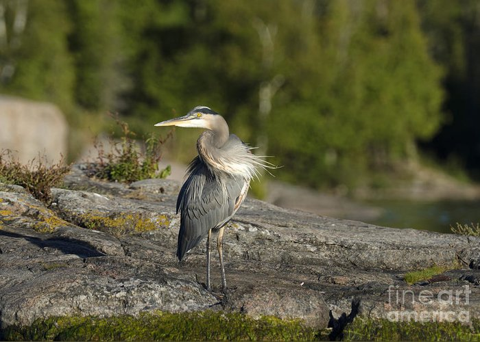 Beauty In Nature Greeting Card featuring the photograph Heron With Corkscrew Neck by Gord Horne