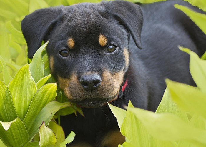 Rottweiler;rottweiler Puppy;pet Greeting Card featuring the photograph Hey Here I Am by Heiko Koehrer-Wagner
