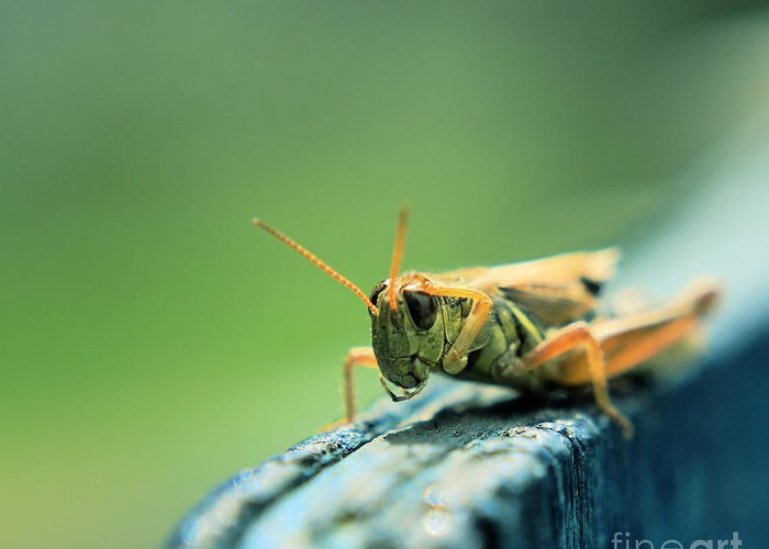 Grasshopper Greeting Card featuring the photograph Hi Captain by Aimelle
