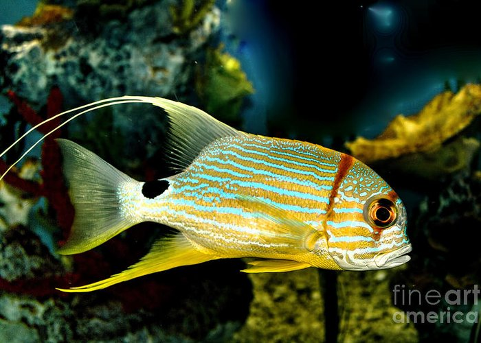 Fish Greeting Card featuring the photograph Hi Fin Snapper by Steven Parker