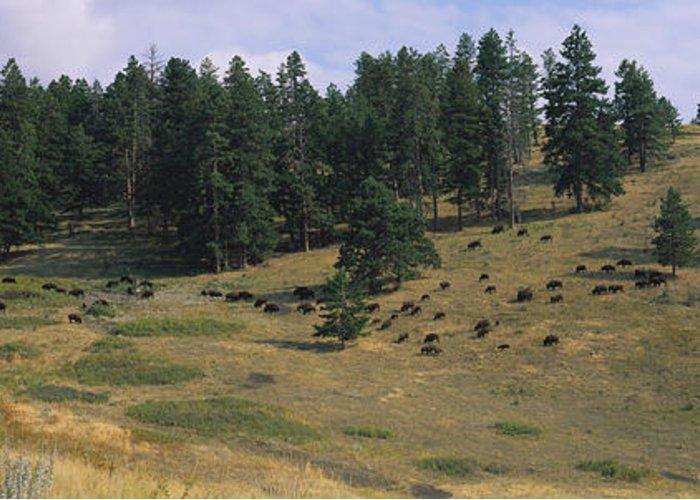 National Bison Range Greeting Cards