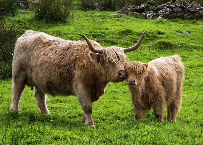 Horned Greeting Card featuring the photograph Highland Cattle And Calf by John Short / Design Pics