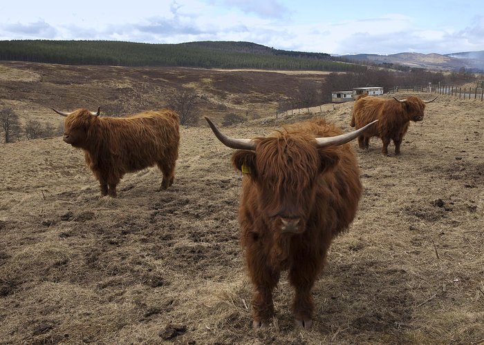 Scotland Greeting Card featuring the photograph Highland Cattle Gang by Duncan Mackie