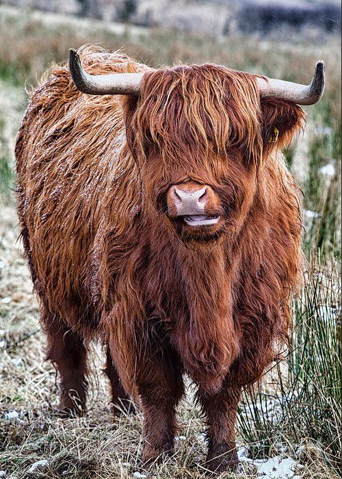 Highland Cow Greeting Card featuring the photograph Highland Coo by John Farnan