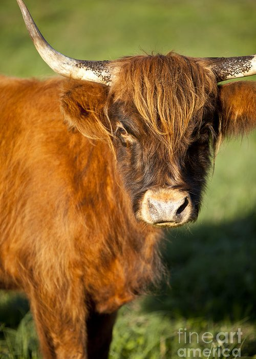 Scottish Greeting Card featuring the photograph Highland Cow by Brian Jannsen