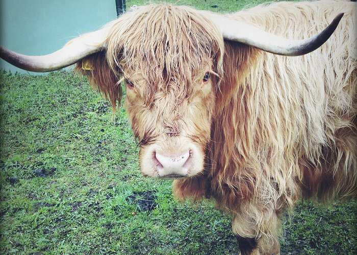Agriculture Greeting Card featuring the photograph Highland Cow by Les Cunliffe