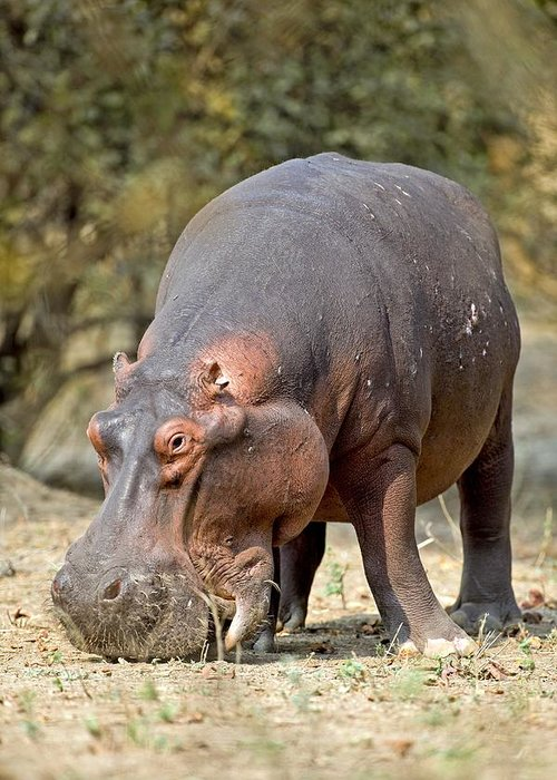 Africa Greeting Card featuring the photograph Hippo Grazing by Science Photo Library