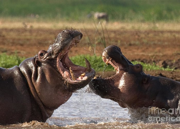 Hippo Greeting Card featuring the photograph Hippo Threat Display by Chris Scroggins