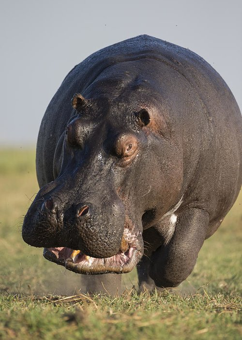 Vincent Grafhorst Greeting Card featuring the photograph Hippopotamus Bull Charging Botswana by Vincent Grafhorst