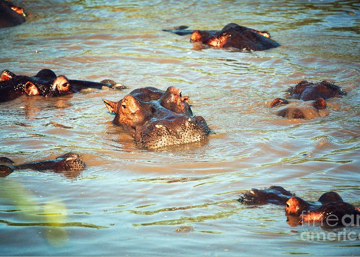 Hippo Greeting Card featuring the photograph Hippopotamus Group In River. Serengeti. Tanzania by Michal Bednarek