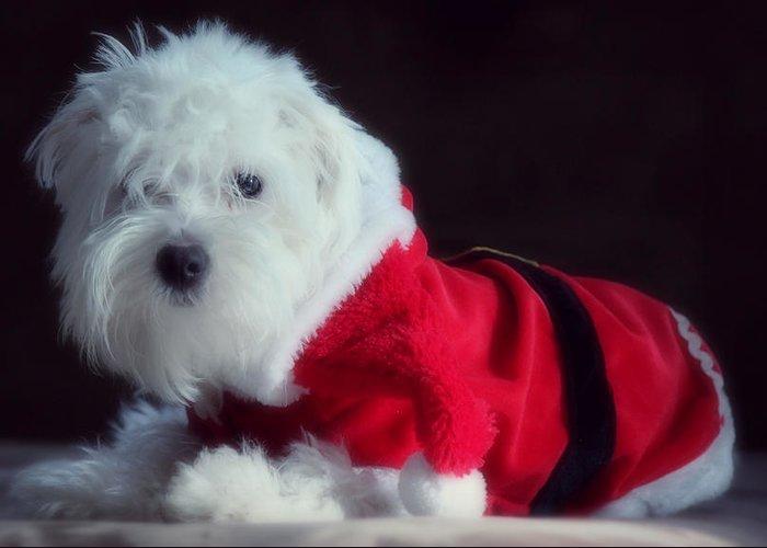 Maltese Dog Christmas Cards Greeting Cards