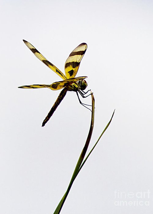 Dragon Fly Greeting Card featuring the photograph Holding On by Anne Rodkin