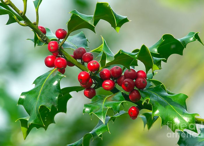 Holly Greeting Card featuring the photograph Holly Berries by Sharon Talson
