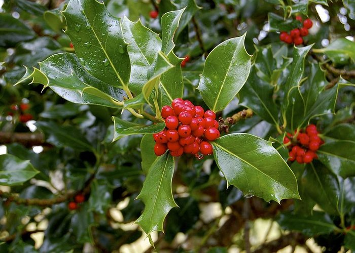 Holly Greeting Card featuring the photograph Holly by Nelson Falker