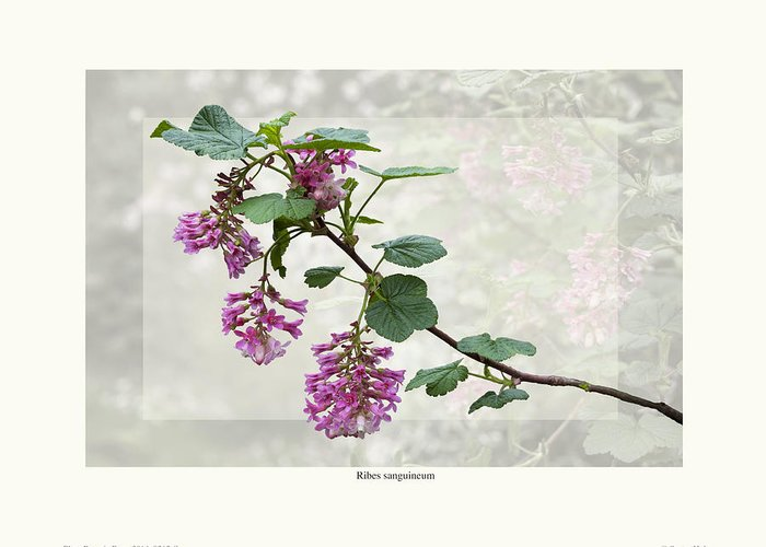 Shrubs Greeting Card featuring the photograph Ribes Sanguineum - California Currant by Saxon Holt
