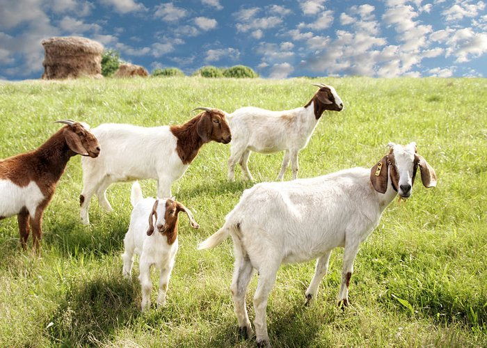 Goat Greeting Card featuring the photograph Homeward Bound by Amy Tyler