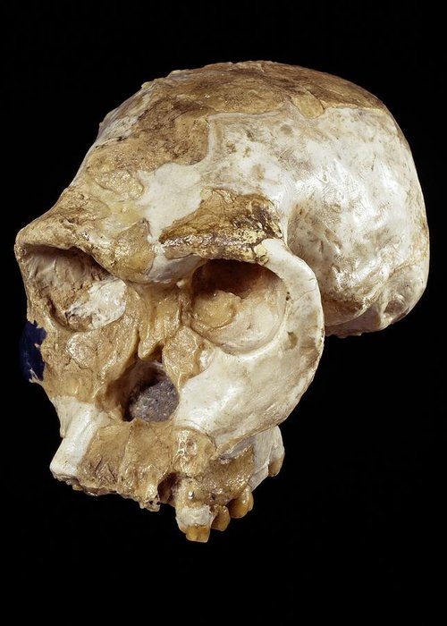 Oh 24 Greeting Card featuring the photograph Homo Habilis Cranium (oh 24) by Science Photo Library