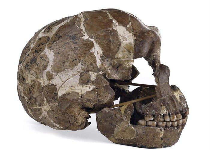 Tabun 1 Greeting Card featuring the photograph Homo Neanderthalensis Cranium (tabun 1) by Science Photo Library