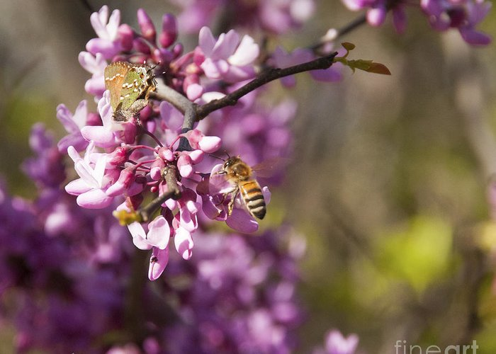 Flowers Greeting Card featuring the photograph Honey Bee And Redbud by Doug Farrell