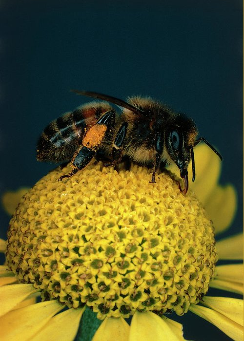 Bee On Flower Greeting Cards
