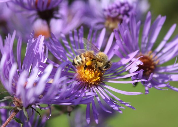 Honeybee Greeting Card featuring the photograph Honeybee And Aster by Lucinda V VanVleck