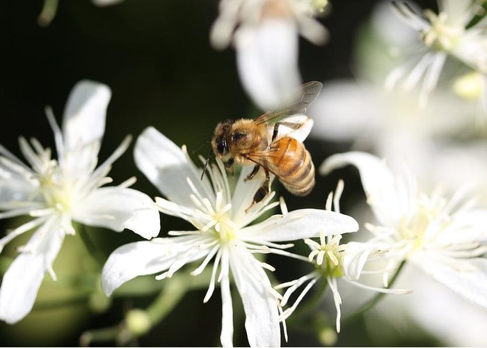 Honeybee Greeting Card featuring the photograph Honeybee On Clematis by Lucinda VanVleck