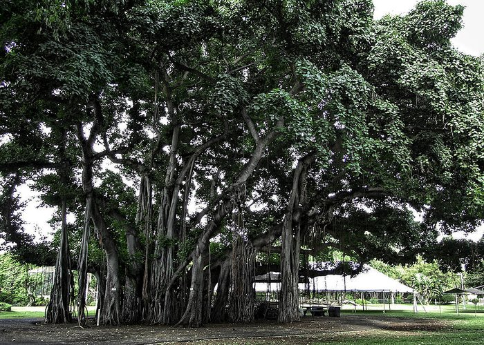 Banyan Greeting Card featuring the photograph Honolulu Banyan Tree by Daniel Hagerman