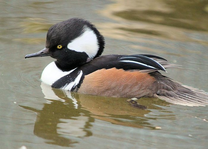 Hooded Merganser Duck Greeting Card featuring the photograph Hooded Merganser Drake by John Dart