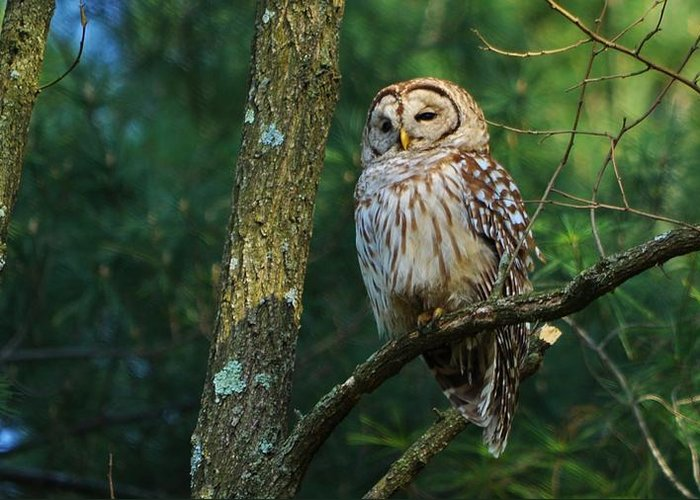 Barred Owl Greeting Card featuring the photograph Hootie Barred Owl by William Fox