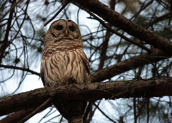 Greeting Card featuring the photograph Hootie The Barred Owl A by Peggy Valouch