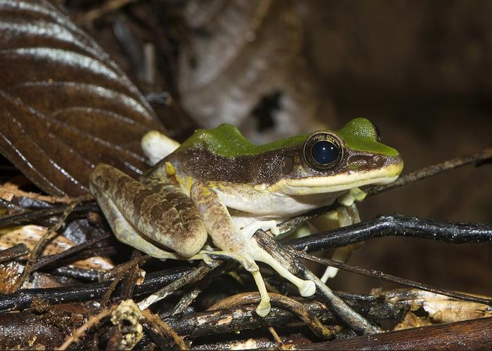Hose's Frog Greeting Card featuring the photograph Hose's From, Borneo by Science Photo Library