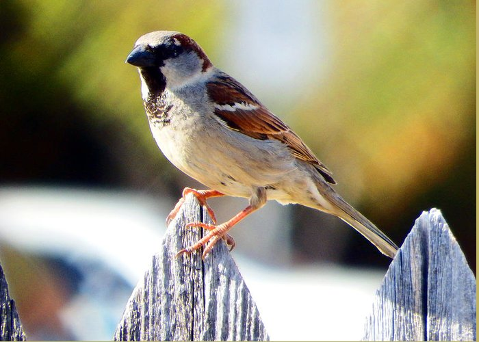 Sparrow Greeting Card featuring the photograph House Sparrow by David G Paul