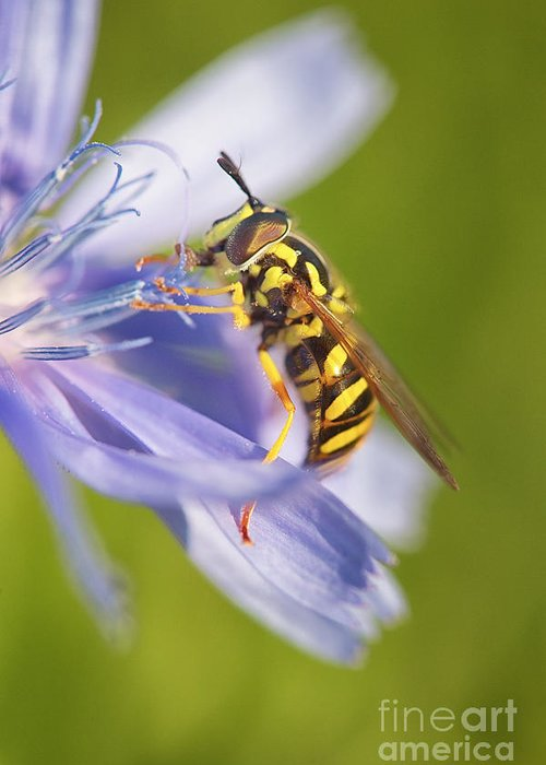 Hover Fly Greeting Card featuring the photograph Hover Fly by Todd Bielby