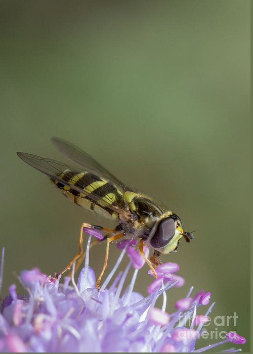Syrphus Vitripennis Greeting Card featuring the photograph Hoverefly - Syrphus Vitripennis by Jivko Nakev