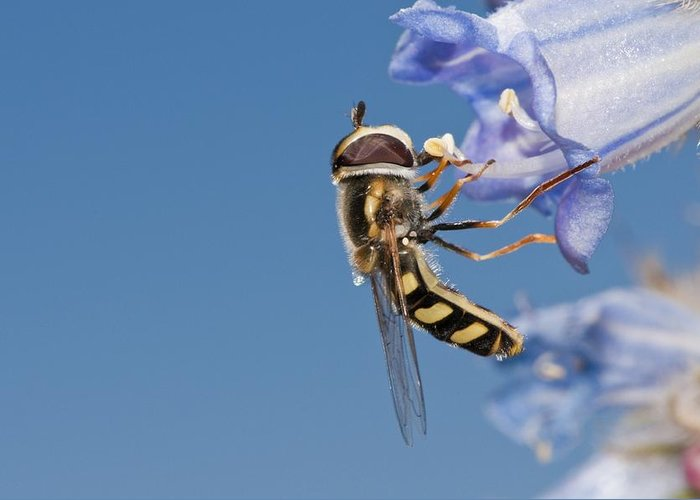Europe Greeting Card featuring the photograph Hoverfly Feeding by Science Photo Library