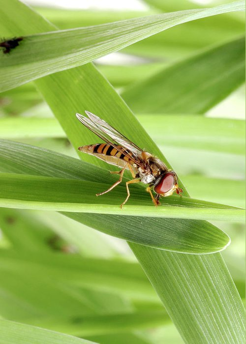 Hoverfly Greeting Cards