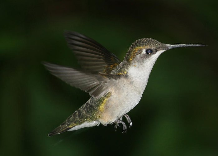 Hummer Greeting Card featuring the photograph Hovering Hummer by Bonnie Brann