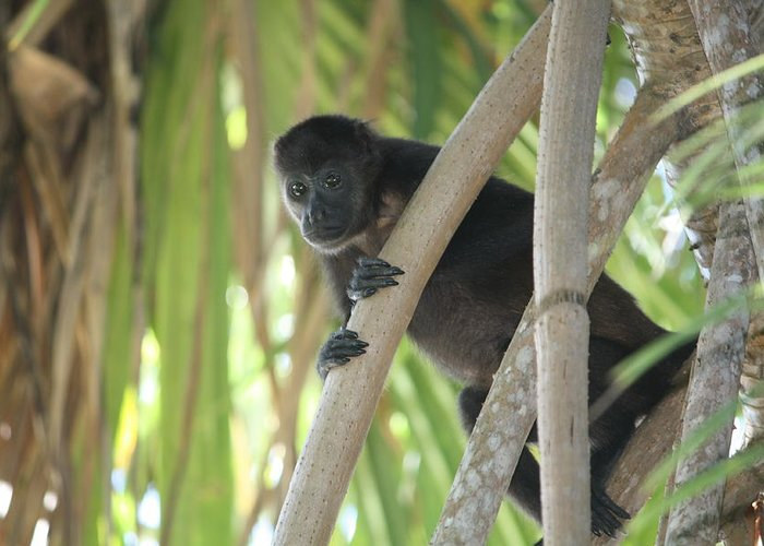 Monkey Greeting Card featuring the photograph Howler Monkey Looking Down by Paula Thomas