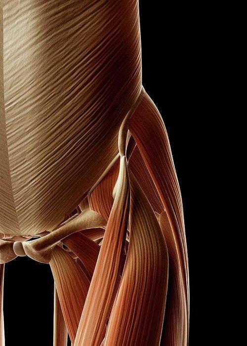 Artwork Greeting Card featuring the photograph Human Hip Muscles by Sebastian Kaulitzki