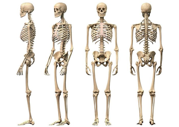 White Background Greeting Card featuring the digital art Human Skeleton, Artwork by Leonello Calvetti