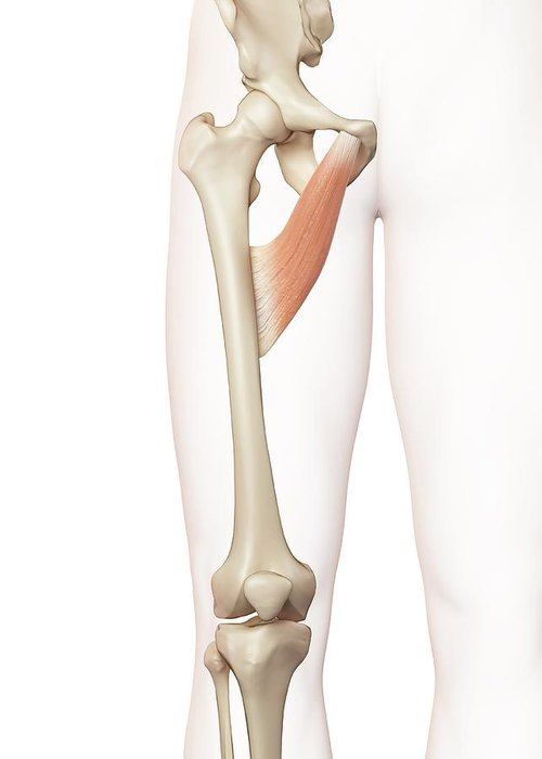 3 Dimensional Greeting Card featuring the photograph Human Thigh Muscle by Sciepro