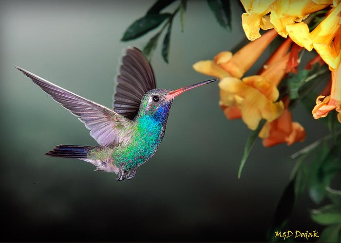 Hummingbird Greeting Card featuring the photograph Hummer Feeding At Yellow Flower by Mike Dodak