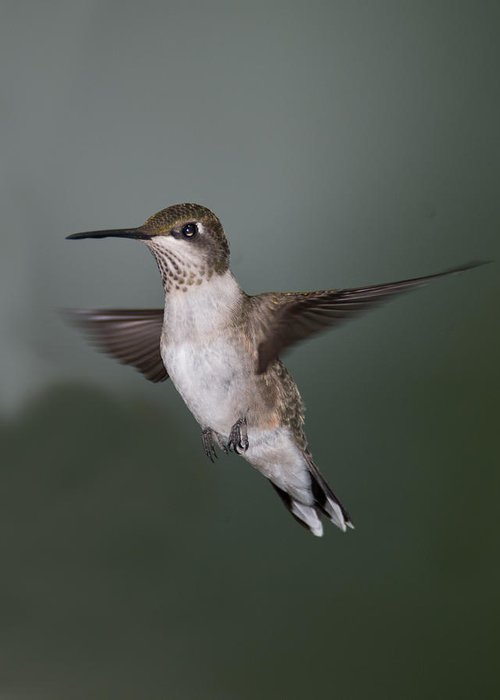 Birds Greeting Card featuring the photograph Humming Bird 1 by Joseph Halberstadt