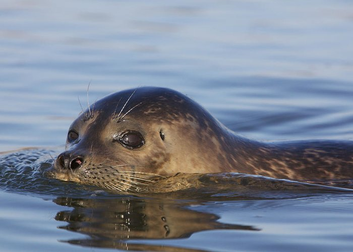 Harbor Seal Greeting Card featuring the photograph Humming Harbor Seal by Julie Chen